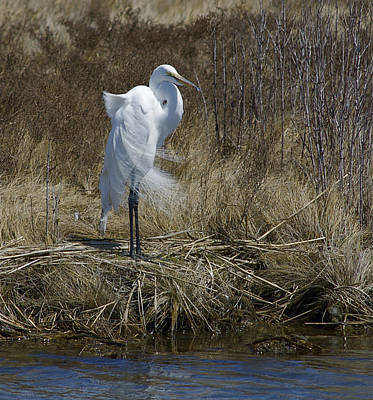 Photograph - Great Egret by Greg Vizzi