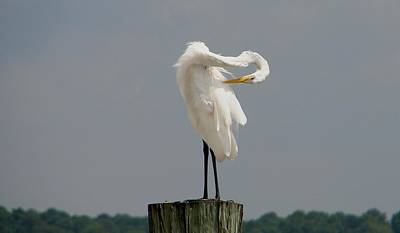 Photograph - Great Egret Grooming by Bruce W Krucke