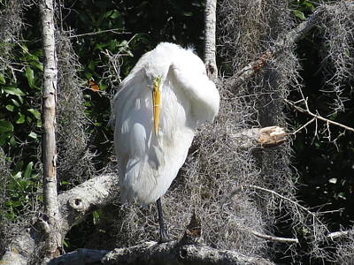 Photograph - Great Egret Grooming by Ellen Meakin