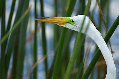Great Egret Photograph - Great Egret Hunting In Soft Stem by Maresa Pryor