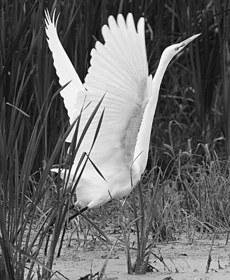 Great Egret In Black And White Art Print by Ricky L Jones