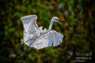Photograph - Great Egret In Flight by Barbara Bowen