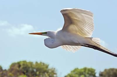Great Egret In Flight Print by Bob Gibbons