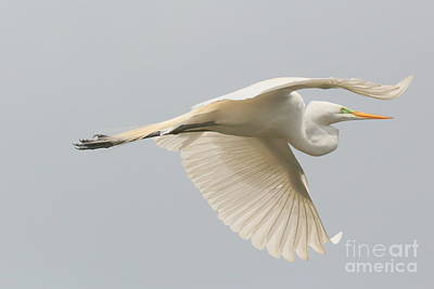 Heron Photograph - Great Egret In Flight by Carol Groenen