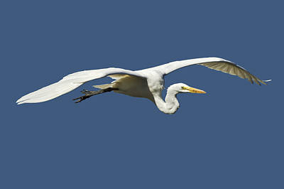 Photograph - Gliding Great Egret by Patrick M Lynch