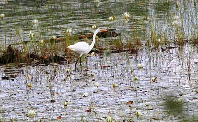 D Wade Photograph - Great Egret In Seney National Wildlife Refuge by Dan Sproul