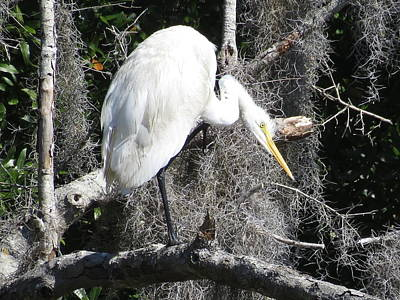 Photograph - Great Egret In Tree by Ellen Meakin