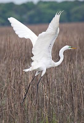 Photograph - Great Egret In Flight by John Black