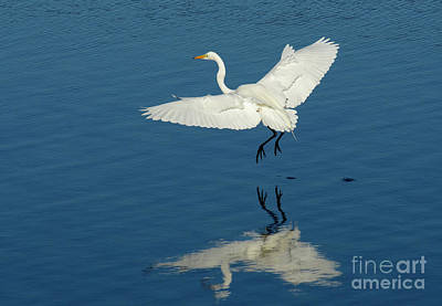 Bodega Bay Photograph - Great Egret Landing by Bob Christopher