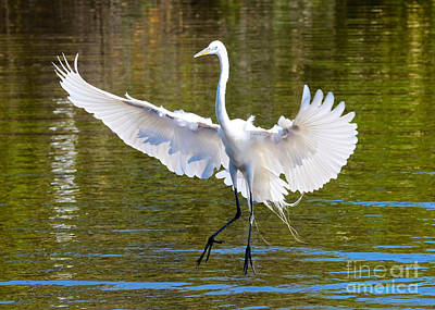 Photograph - Great Egret Landing by Carol Groenen