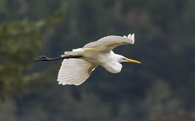 Photograph - Great Egret by Loree Johnson