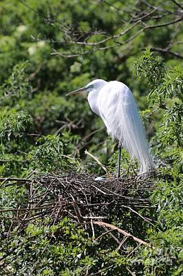Photograph - Great Egret Nest by Carol Groenen