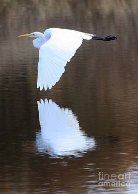 Of Birds Photograph - Great Egret Over The Pond by Carol Groenen