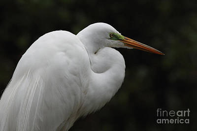 Photograph - Great Egret Photo by Meg Rousher