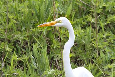 D Wade Photograph - Great Egret Portrait by Dan Sproul