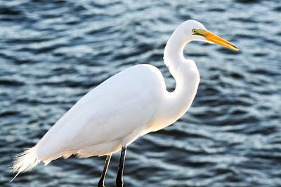 Photograph - Great Egret Posing by Shannon Harrington