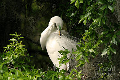 Great Egret Preen Art Print by Jennifer Zelik
