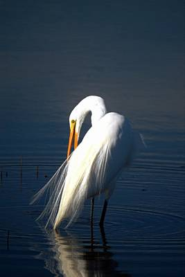 Photograph - Great Egret Preening by Frank Wilson