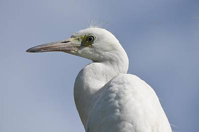 Photograph - Great Egret Profile by Richard Bryce and Family