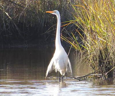 Photograph - Great Egret Standing Tall by Ellen Meakin