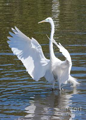Egret Photograph - Great Egret Symphony by Carol Groenen
