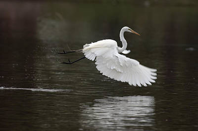 Great Egret Takeoff Art Print by Gary Langley