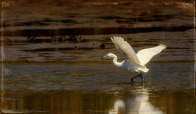 Photograph - Great Egret Taking Off by Jorge Perez - BlueBeardImagery
