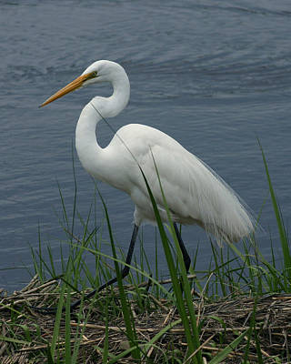 Great Egret Walking 16x20 Art Print