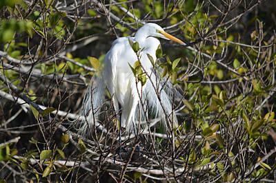 Photograph - Great Egret White Nesting Display by rd Erickson