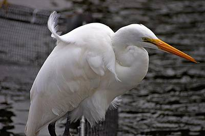Photograph - Great Egret  by Willard Killough III