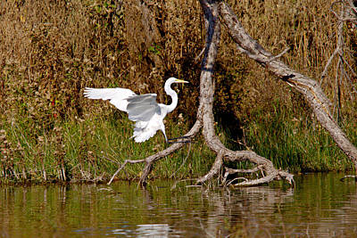 Animal Paintings David Stribbling - Great Egret Wing Water Reflections 4 by Roy Williams