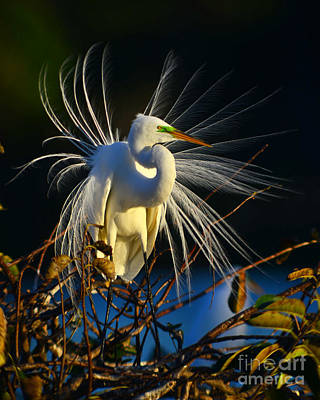 Photograph - Great Egret With Breeding Plumage 1 by Jane Axman