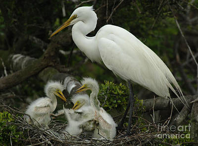 Photograph - Great Egret With Young by Bob Christopher