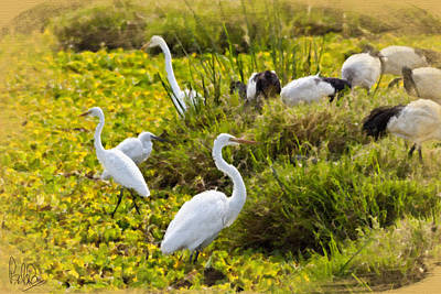 Photograph - Great Egrets And Sacred Ibis by Perla Copernik