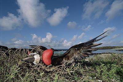 Photograph - Great Frigatebird Female Eyes Courting by Tui De Roy