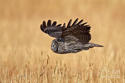 Photograph - Great Gray Flight by Bill Singleton