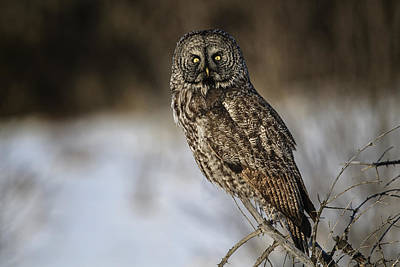 Great Gray Owl 2 Art Print by Gary Hall