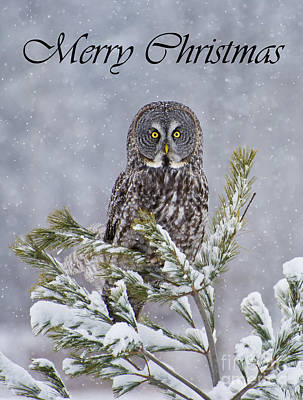 Photograph - Great Gray Owl Christmas Card 1 by Michael Cummings