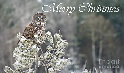 Photograph - Great Gray Owl Christmas Card 10 by Michael Cummings