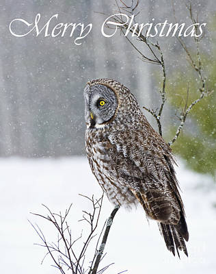 Photograph - Great Gray Owl Christmas Card 12 by Michael Cummings