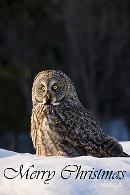 Photograph - Great Gray Owl Christmas Card 13 by Michael Cummings