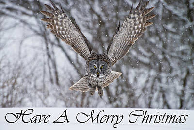 Photograph - Great Gray Owl Christmas Card 3 by Michael Cummings