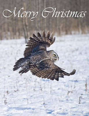 Photograph - Great Gray Owl Christmas Card 4 by Michael Cummings