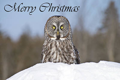 Photograph - Great Gray Owl Christmas Card 5 by Michael Cummings