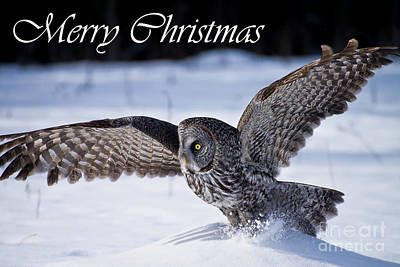 Photograph - Great Gray Owl Christmas Card 6 by Michael Cummings