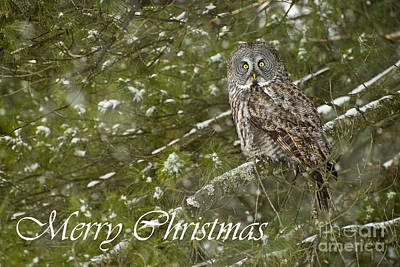 Photograph - Great Gray Owl Christmas Card 9 by Michael Cummings