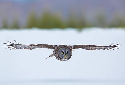 Photograph - Great Gray Owl by Dale J Martin