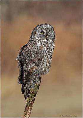 Photograph - Great Gray Owl by Daniel Behm