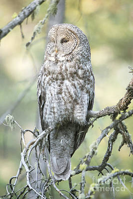 Photograph - Great Gray Owl by Deby Dixon