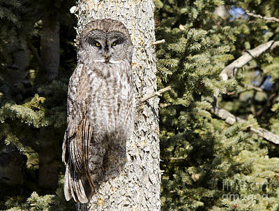 Photograph - Great Gray Owl by Dee Cresswell